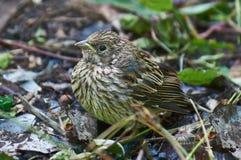 Yellow-beaked nestling Finch . Stock Image