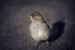 Yellow-beaked sparrow. Stock Images