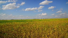 Yellow bean field on sunny day