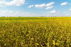 Yellow bean field on sunny day. Yellow bean field on a sunny day royalty free stock photography