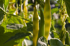 Yellow bean. Growing on vegetable bed in the summer Stock Image