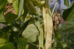 Yellow bean growing. On vegetable bed in the summer royalty free stock photography