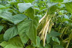 Yellow Bean. Hanging on the plant ready to harvest Royalty Free Stock Photography