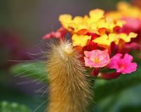 Yellow Bear Caterpillar Royalty Free Stock Photography