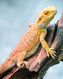 Yellow bearded dragon Stock Images