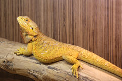Yellow Bearded Dragon Royalty Free Stock Photo