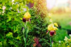Yellow Bearded Iris blooming in summer. Garden stock image