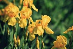 Yellow bearded Iris flowers stock image