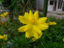 Yellow flower in the garden. Yellow beautiful flower blooming in the garden stock image