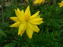 Yellow flower in the garden. Yellow beautiful flower blooming in the garden royalty free stock photos