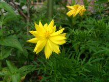 Yellow flower in the garden. Yellow beautiful flower blooming in the garden stock images