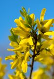 Yellow beautiful flowers on a background blue sky. A spring came royalty free stock images