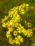 Yellow beautiful flowers of St.-John's wort Royalty Free Stock Images