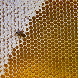 Yellow beautiful honeycomb with honey and bee Royalty Free Stock Photography