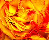yellow beautiful rose Royalty Free Stock Photos