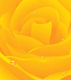 Yellow beautiful rose background Royalty Free Stock Images