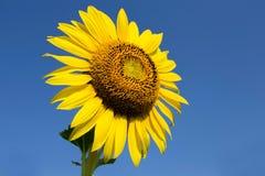 Yellow Beautiful sunflowers. Yellow field of sunflowers and blue sky, Lop Buri, Thailand Stock Photo