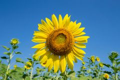 Yellow Beautiful sunflowers. Yellow field of sunflowers and blue sky, Lop Buri, Thailand Royalty Free Stock Photo