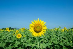 Yellow Beautiful sunflowers. Yellow field of sunflowers and blue sky, Lop Buri, Thailand Royalty Free Stock Photography