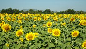 Yellow Beautiful sunflowers, a sharp at center. Yellow field of sunflowers and blue sky, Lop Buri, Thailand Stock Photography