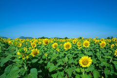 Yellow Beautiful sunflowers, a sharp at center Royalty Free Stock Images