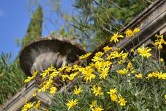 Yellow beautiful wild daisy flowers decorating the ancient Italian garden. stock photo