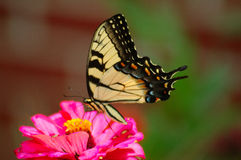 Yellow Beauty. Yellow butterfly feeding royalty free stock photos