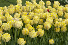 Yellow bed of tulips Royalty Free Stock Photos