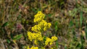 Yellow Bedstraw or Galium verum flowers close-up, selective focus, shallow DOF.  royalty free stock photography