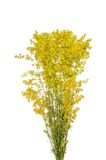Yellow Bedstraw Stock Photo