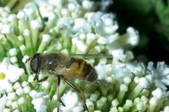 Yellow bee. A yellow bee on a white flower collecting honey Stock Photos
