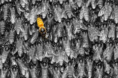 Yellow bee in black  background Stock Photography