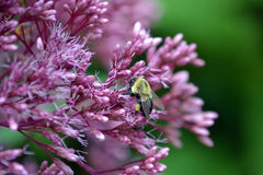 Yellow bee in a cluster of purple flowers. Stock Photography
