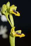 Yellow Bee Orchid Stock Photos