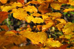 Yellow beech leaves in autumn stock photography