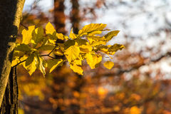 Yellow beech leaves with blurred background in autumnal forest Royalty Free Stock Photography