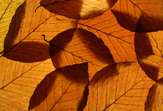 Yellow Beech Leaves Texture royalty free stock images