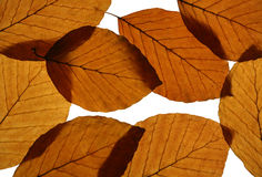 Yellow Beech Leaves Texture Royalty Free Stock Photo
