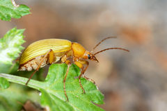 Yellow beetle Royalty Free Stock Images