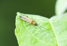 Yellow beetle on leaf Royalty Free Stock Image