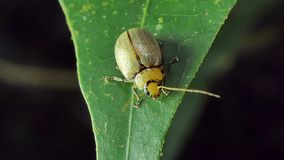 Yellow beetle on leaf in tropical rain forest. Yellow beetle are wagging antenna on leaf in tropical rain forest stock video