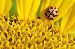 Yellow beetle on petals of sunflower Stock Images