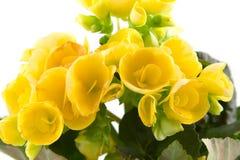 Yellow begonia Stock Photos