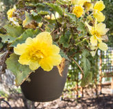 Yellow begonia in bloom in a garden Royalty Free Stock Photography