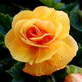 Yellow begonia Royalty Free Stock Images