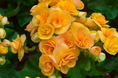 Yellow Begonia Flower And Green Leaves In The Garden Stock Photo