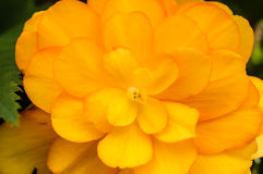 Yellow begonia flower in bloom Stock Photos