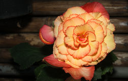 Yellow begonia flower Royalty Free Stock Photography