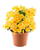 Yellow begonia in the flowerpot stock photos