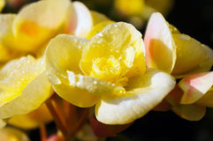 Yellow begonia flowers background Stock Images